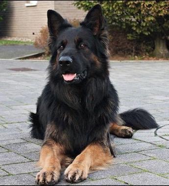 gipsy 39 s homepage altdeutscher sch ferhund. Black Bedroom Furniture Sets. Home Design Ideas